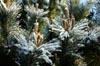 Pine Tree Icing [ EF 17-40mm 1:4 L ]