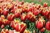 Kees Nelis Tulips [ EF 50mm 1.8 ]
