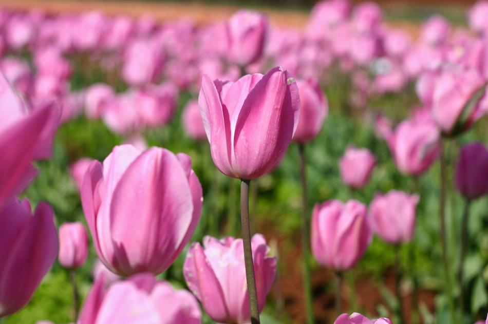 Pink Tulip [ EF 50mm 1.8 ]