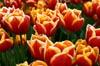 Kees Nelis Tulips II [ EF 50mm 1.8 ]