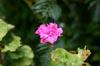 Pink Flower [ EF 50mm 1.4 ]