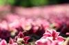 Pink Blur [ EF 50mm 1.8 ]