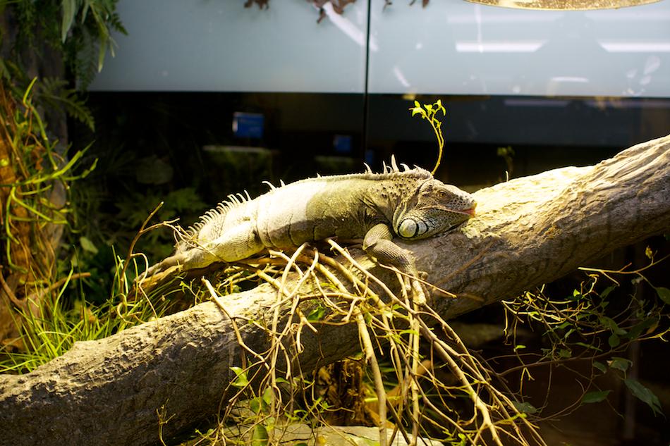 Iguana [ EF 28mm 1.8 ]