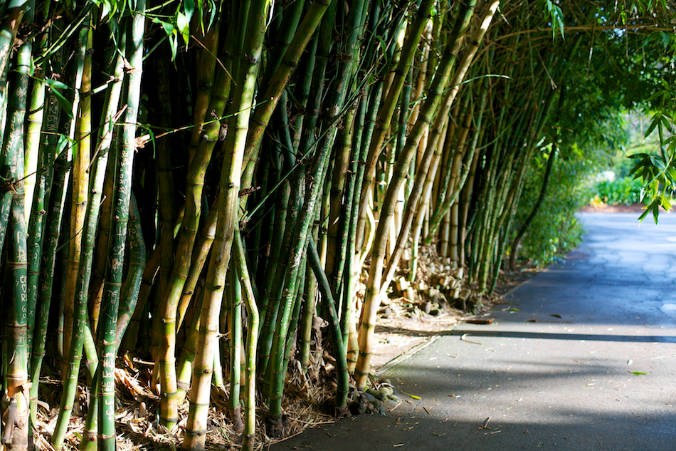 Bamboo Row [ Zeiss Planar T* 50mm 1.4 ZE ]