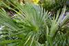 Palm [ Zeiss Planar T* 50mm 1.4 ZE ]
