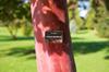 Arbutus glandulosa [ Zeiss Planar T* 50mm 1.4 ZE ]