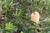 Banksia [ Zeiss Planar T* 50mm 1.4 ZE ]