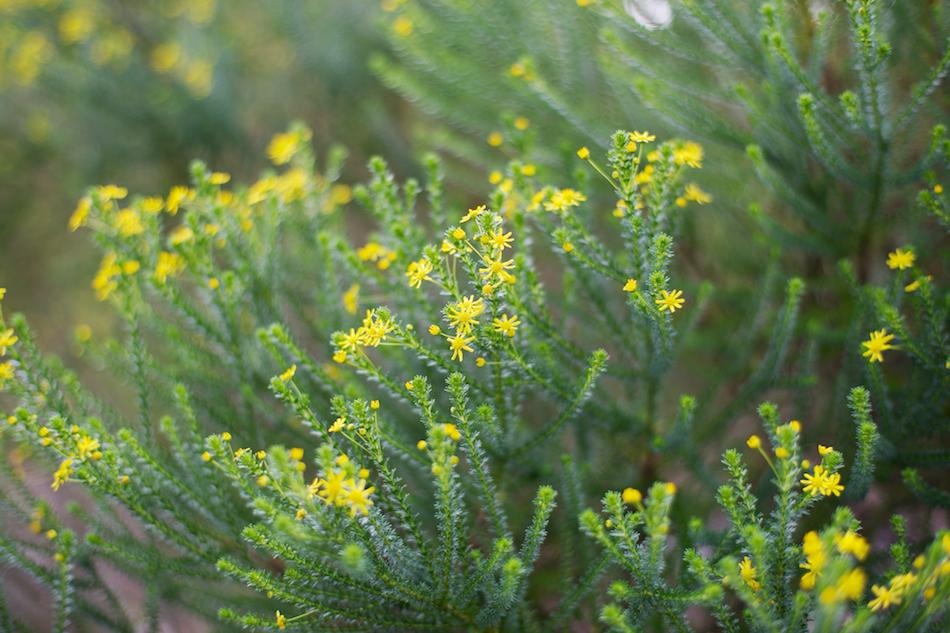 Little Yellow Stars [ Zeiss Planar T* 50mm 1.4 ZE ]