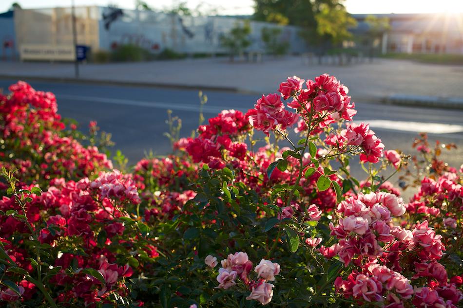 Roadside Flowers [ EF 40mm 2.8 STM ]