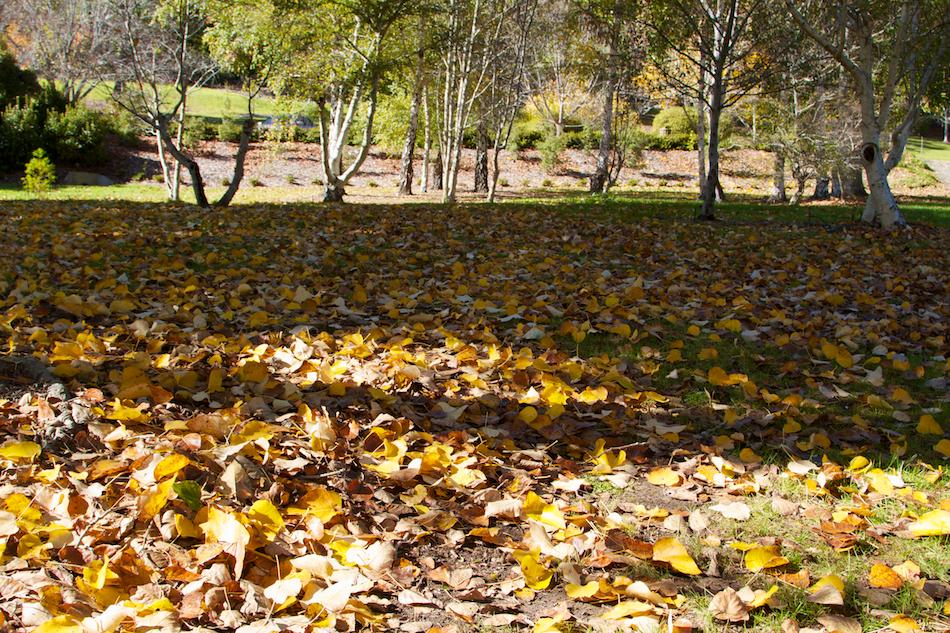 Morning Sun, Fallen Leaves [ EF 24-105mm 1:4 L IS ]