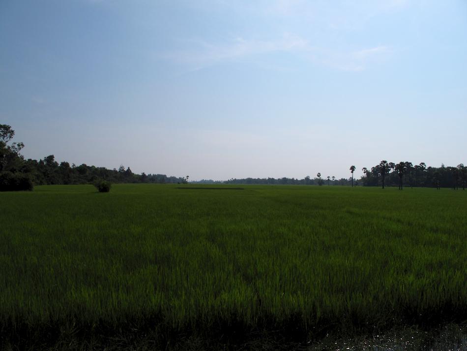 Cambodian Rice Field