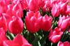 Pink Tulips III