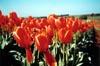 Orange Tulips II