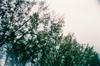 Hac Sa Trees