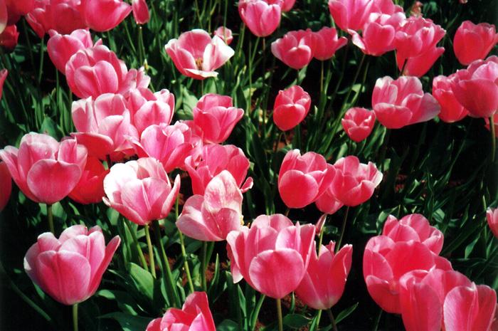 Pink Tulips: Close