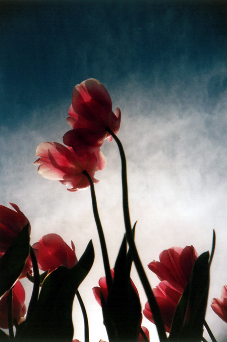 Pink Tulips: Low