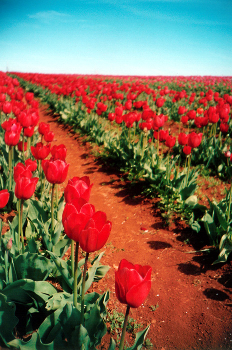 Red Tulips: Close