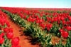 Red Tulips: Far