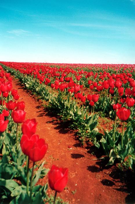 Red Tulips: Far