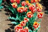 World's Favourite Tulips II