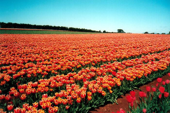 World's Favourite Tulips