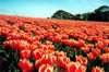 World's Favourite Tulips: Close
