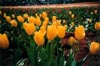 Yellow Tulips: Close
