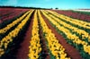 Yellow Tulip Rows II
