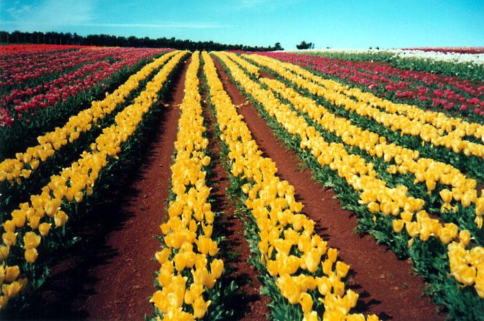 Yellow Tulip Rows II