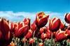 Kees Nelis Tulips: Close
