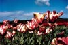 Flaming Parrot Tulips: Close