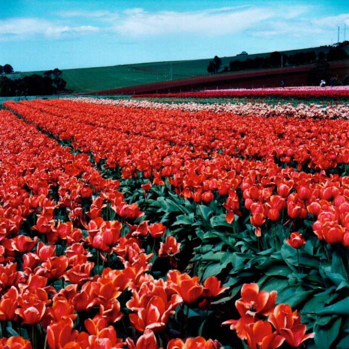 Orange Field II