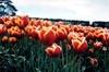 Kees Nelis Tulips III