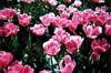 Pink Tulips: Close