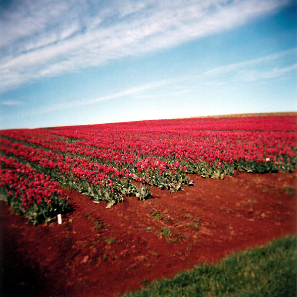 Pink Tulip Rows