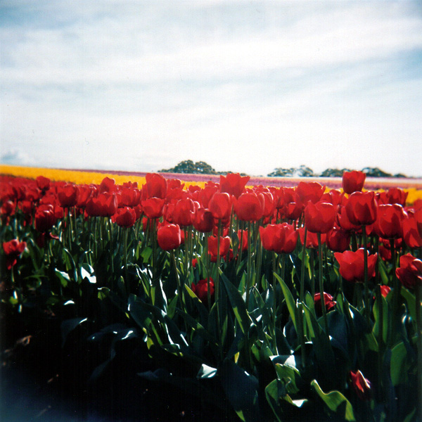 Red Tulips title=
