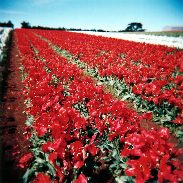 Red Tulip Rows II
