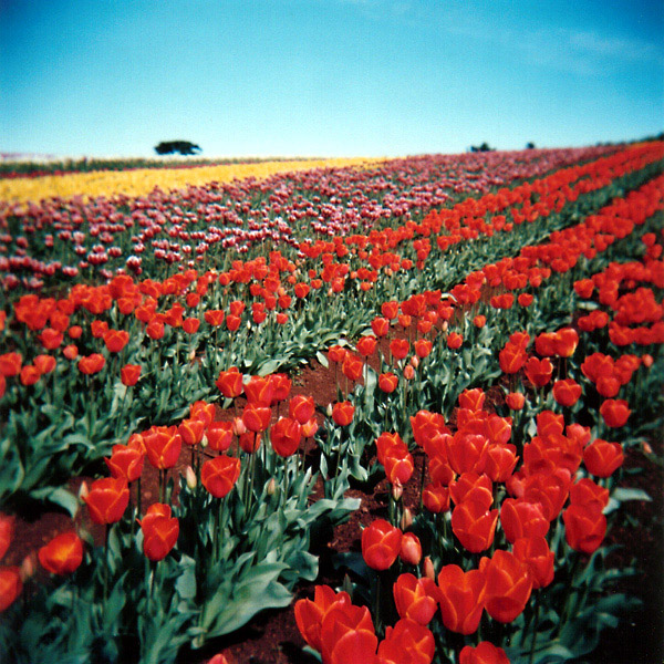 Red Tulip Rows