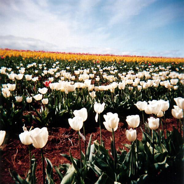 White Tulips II