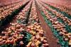 World's Favourite Tulips III