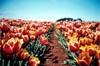 World's Favourite Tulips: Close