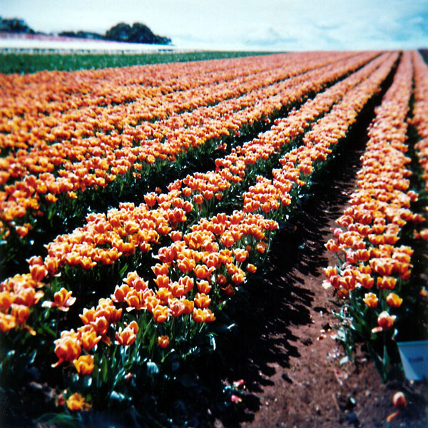 World's Favourite Tulips II