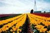 Yellow Tulip Rows