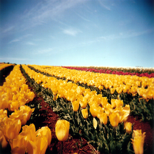 Yellow Tulips: Close