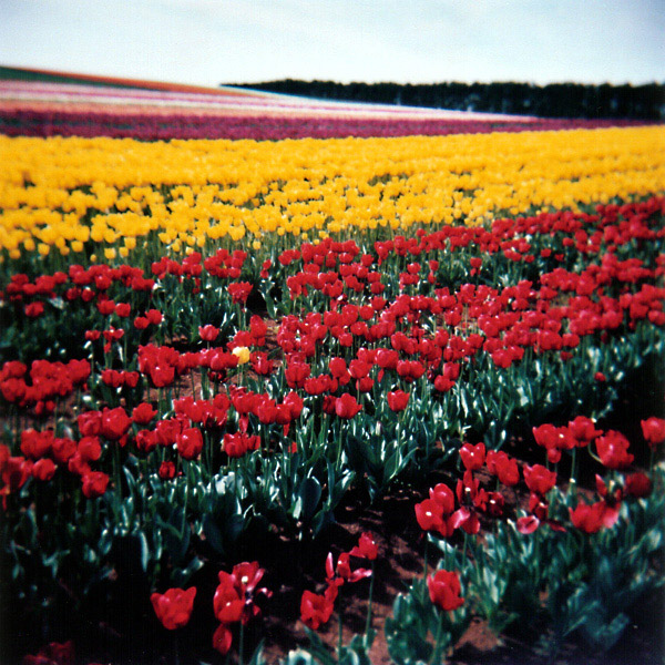 Yellow in a Field of Red